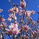 Pink Magnolias by Aakheperure