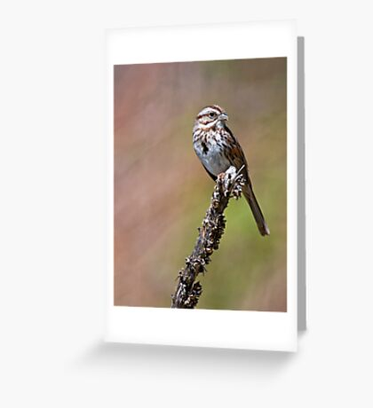 Song Sparrow on Mullen - Ottawa, Ontario Greeting Card