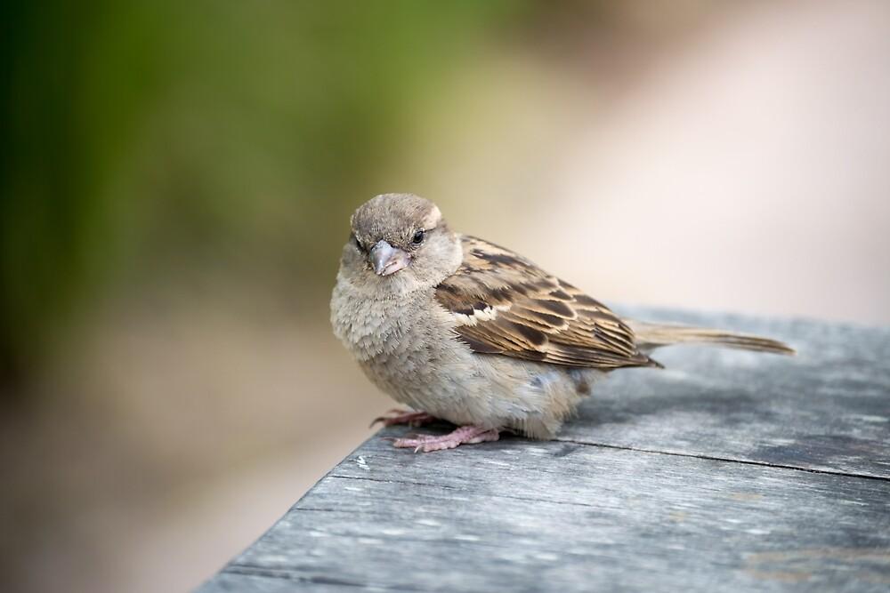 House Sparrow by Scott Lyons