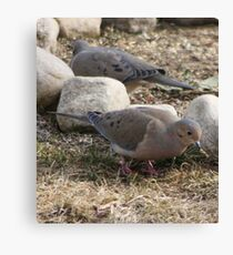 hungry dove Canvas Print