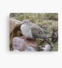 fluffy dove Canvas Print