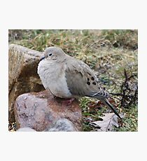 fluffy dove Photographic Print