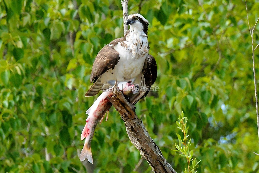 Osprey and Sushi by Carl LaCasse