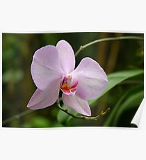 Orchid - Krohn Conservatory Poster