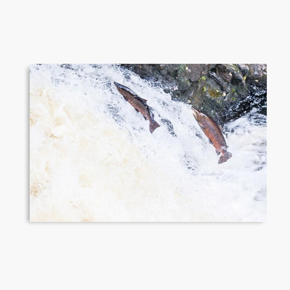 Kopie des springenden wilden atlantischen Lachses Leinwanddruck
