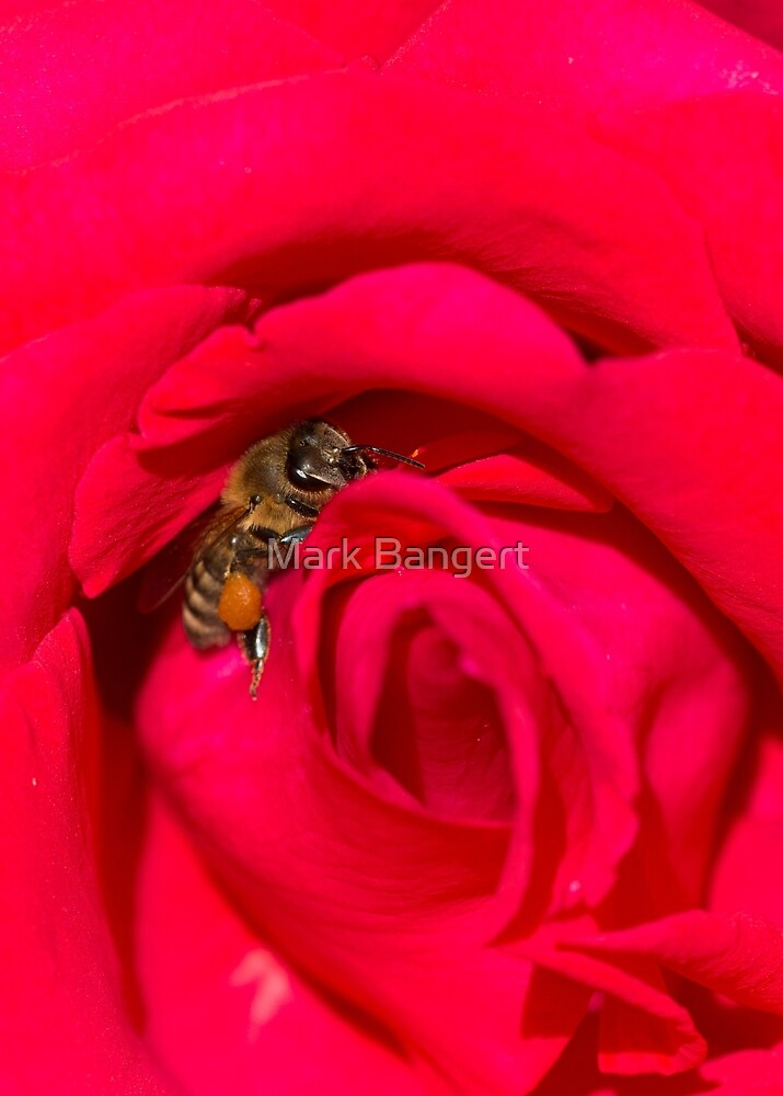 Bee bedded in a red rose by Mark Bangert