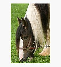 Gypsy Vanner Horse Photographic Print