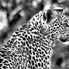 DER LEOPARD - Panthera Pardus von Magriet Meintjes