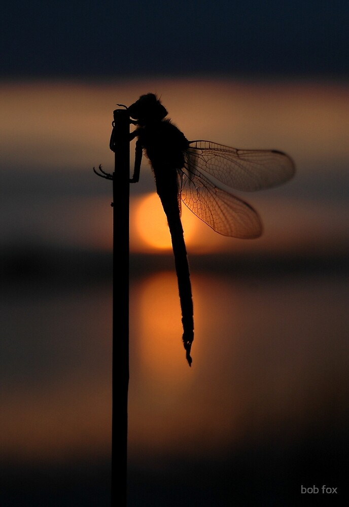 Dragonfly at Sunset by bob fox