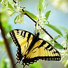 Swallowtail On Honeysuckle by Anne Smyth