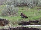 Golden Eagle in Sagebrush by Betty  Town Duncan
