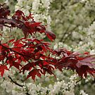 Japanese Maple Do Over by Judi FitzPatrick