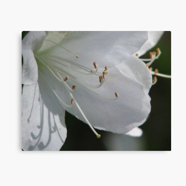 White Azalea Canvas Print