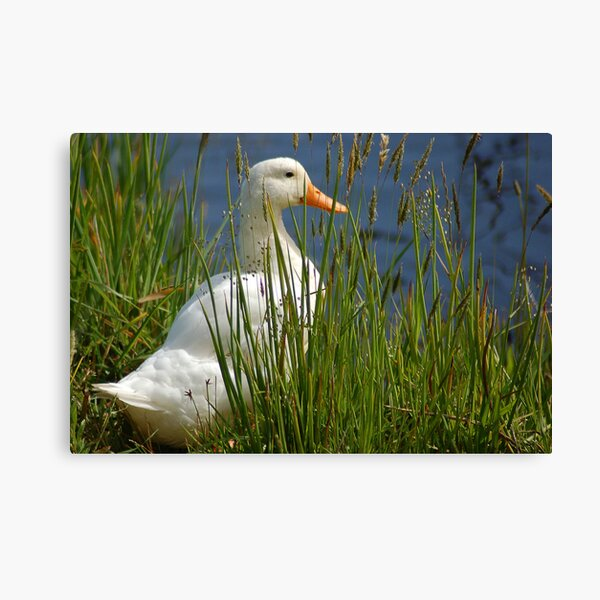 Pretty White Duck Canvas Print