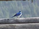 Mountain Bluebird on a Fence Rail by Betty  Town Duncan