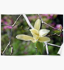 Yellow Magnolia Poster