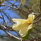Yellow Magnolia 1 by Anne Smyth