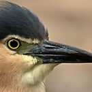 Rufous Night Heron by Tom Newman