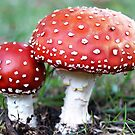 Fly Agaric fungi in my garden - April 30, 2010 - Gippsland, Vic by Bev Pascoe