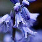Hyacinthoides hispanica by mikepom