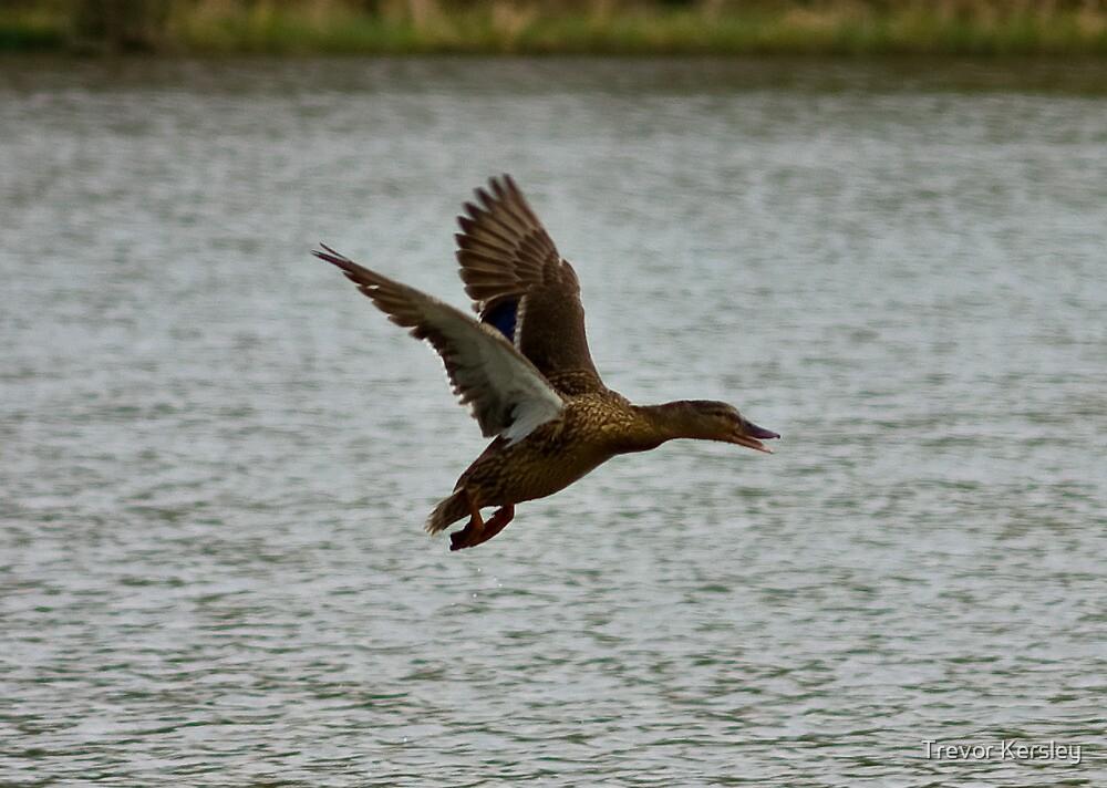 Flying Mallard by Trevor Kersley