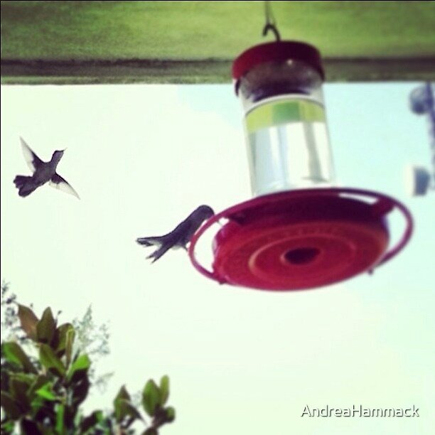 Humming birds by AndreaHammack