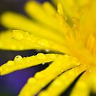 Yellow flower on blue background by Gabor Pozsgai