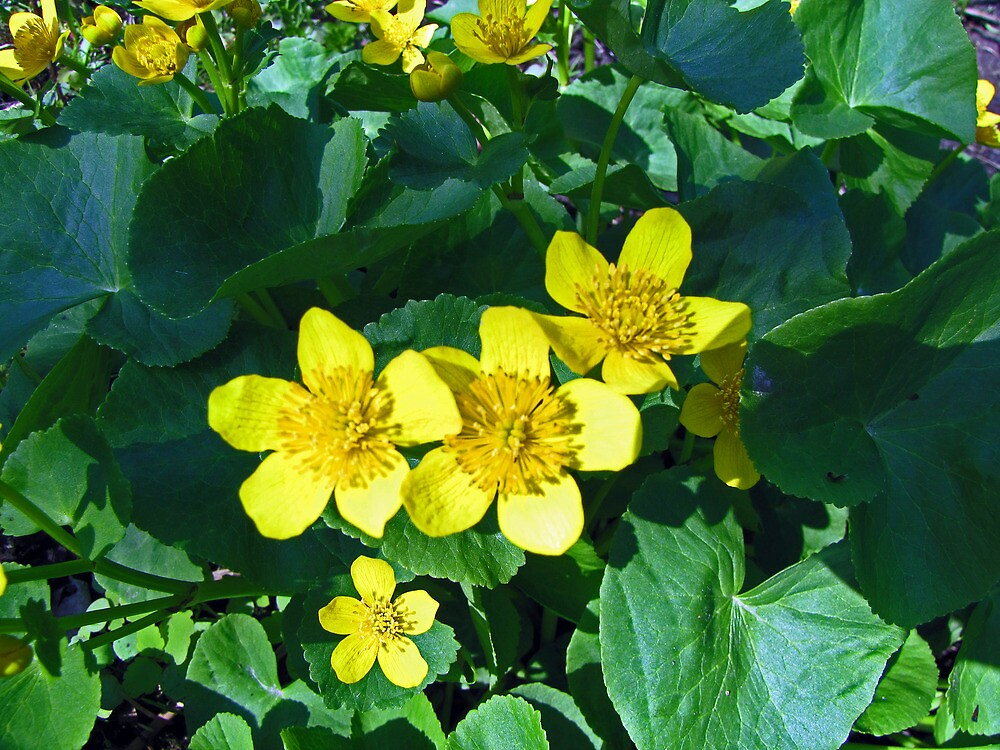 Marsh Marigolds - Caltha palustris  - St. Jacobs, Ontario by jules572