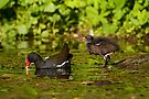 Moorhen and chick by Stuart Robertson Reynolds
