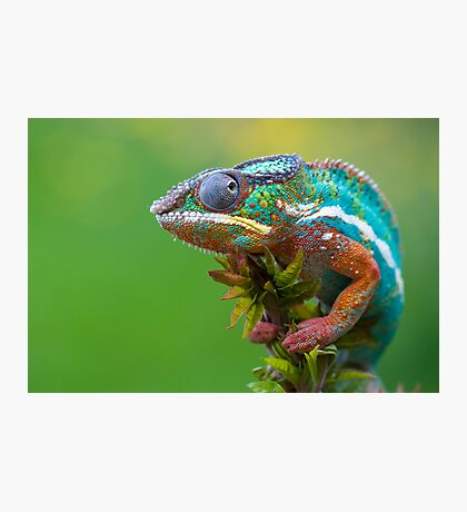 Panther chameleon outside Photographic Print