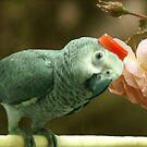my lovely parrot Roma by sky   princess