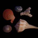 Seashells by DianaTaylor/ JacksonDunes