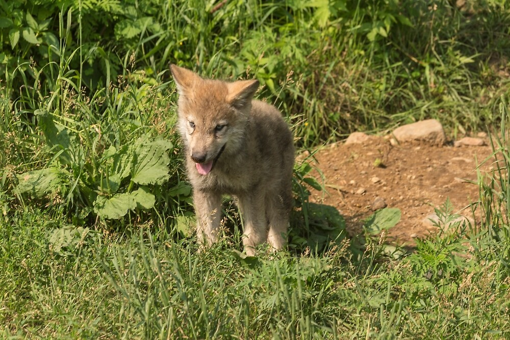 Timber wolf pup by Josef Pittner