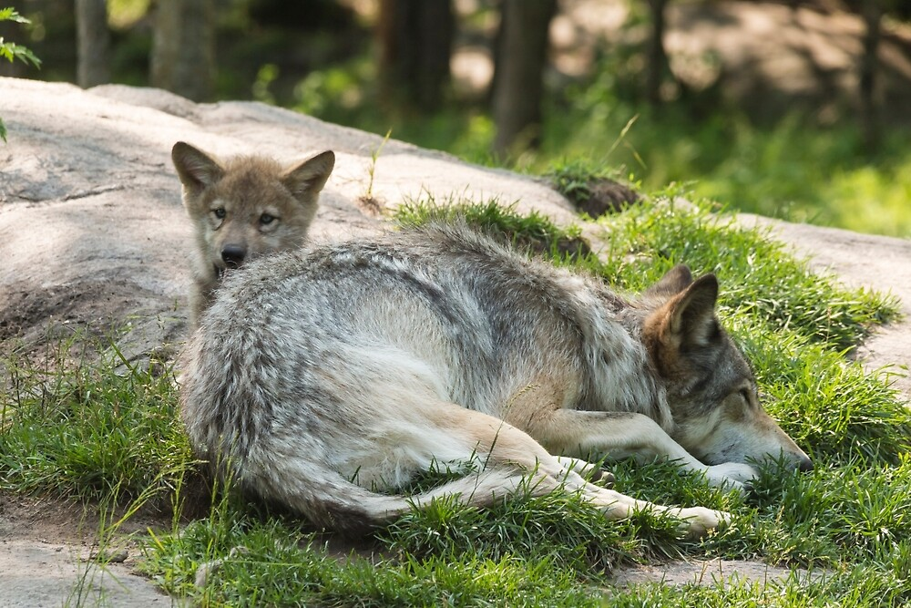 Timber wolf and pup by Josef Pittner