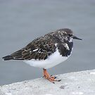 Turnstone, resting in Scarborough by monkeyferret