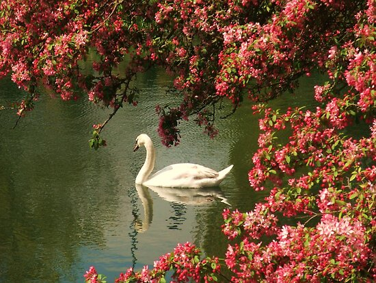 Spring time Swan framed by blossom by MichelleRees