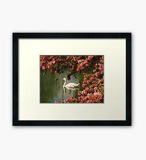 Spring time Swan framed by blossom Framed Print