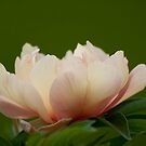 Peony - by Tracey  Dryka