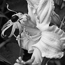 Lime Radiance - daylily, my garden B/W by Tracey  Dryka