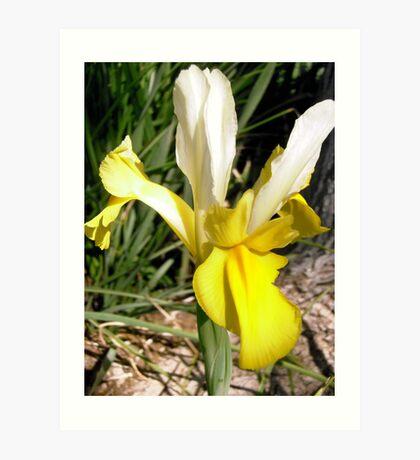 Yellow Japanese Iris Art Print