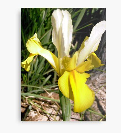Yellow Japanese Iris Metal Print