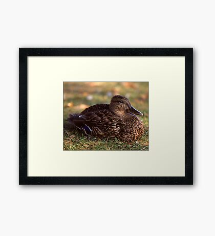 A Duck Framed Print