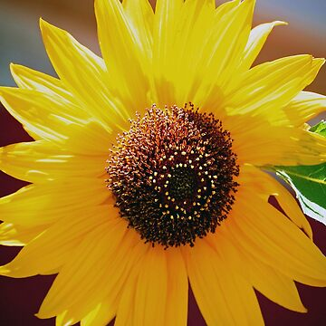 sunflower by treborbob