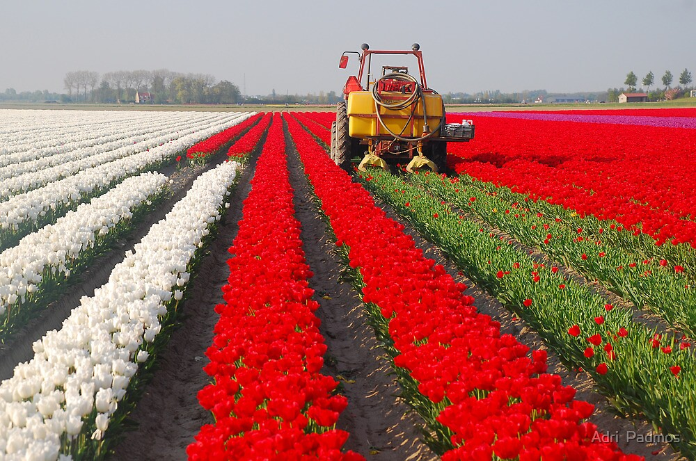 The end of the tulip season......2 by Adri  Padmos