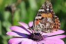 Pretty Painted Lady Butterfly by yolanda