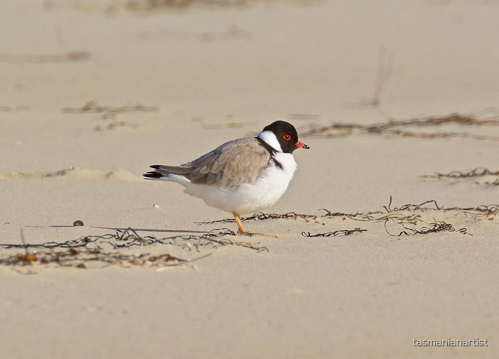 Hooded Plover by tasmanianartist