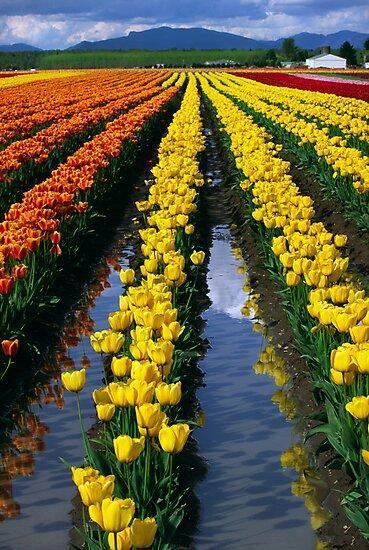 Tulip Reflections by Inge Johnsson