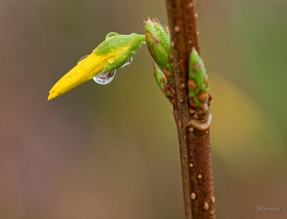 FORSYTHIA BUD AFTER THE RAIN by RGHunt