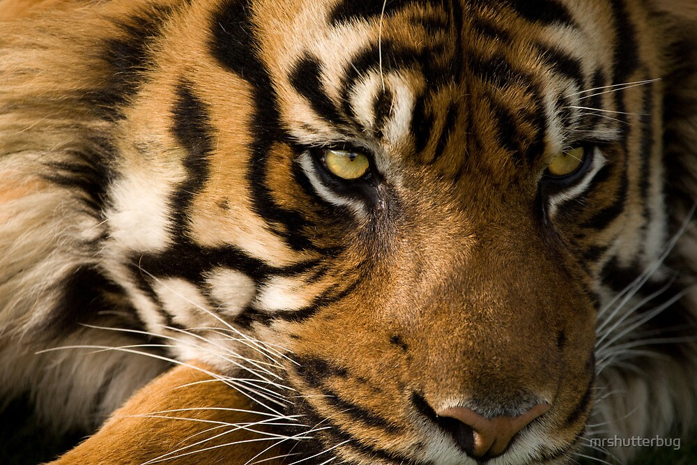 Eye of the  Sumatran Tiger by mrshutterbug