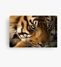Eye of the  Sumatran Tiger Canvas Print